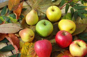Ktoré odrody jabloní a hrušiek vybrať do severných oblastí?