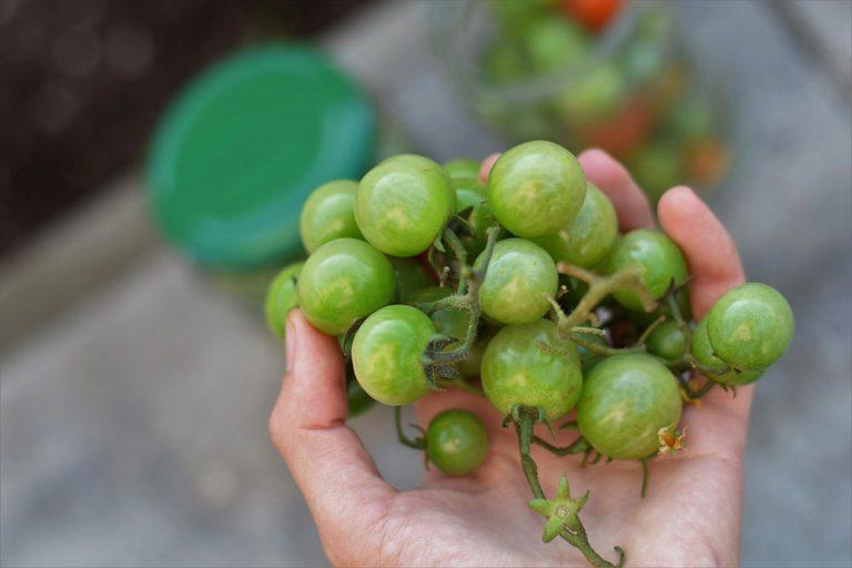 Zelené rajčiny