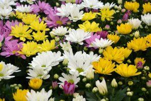 Chryzantémy sú ozdobou jesenných záhonov. Ako ich prezimovať?