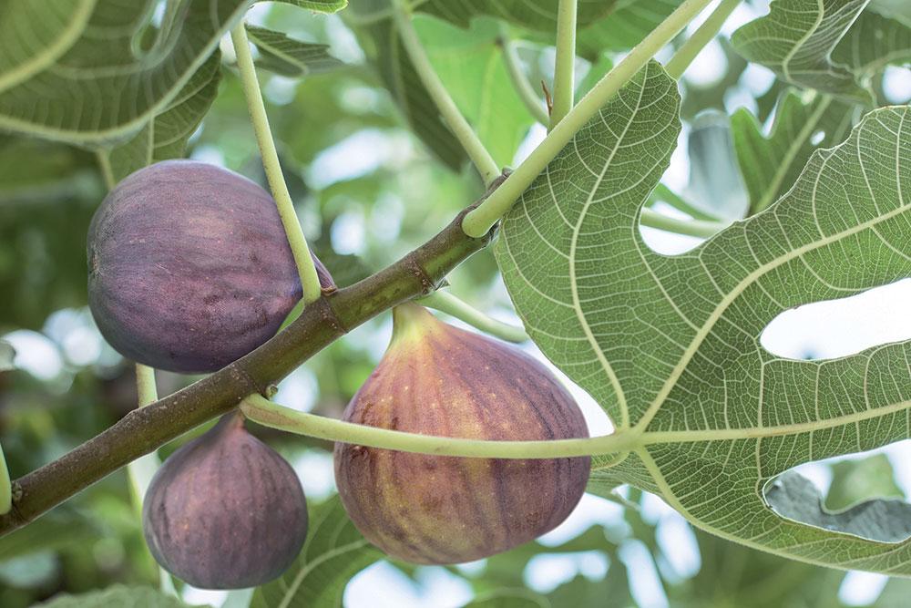 Ako a kde pestovať figovníky