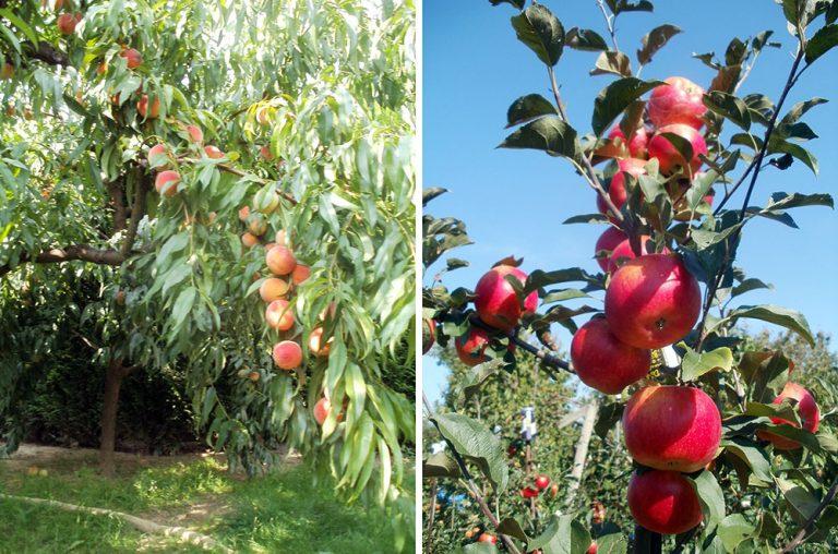 Ovocné stromčeky