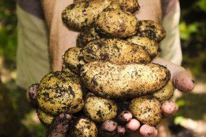 Chrastavitosť zemiakov - čo s tým?