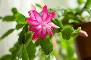Rozmnožte si vianočný kaktus jednoducho a rýchlo