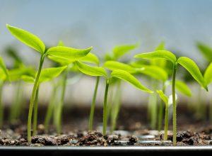 Ako si dopestovať krásnu papriku? Základom úspechu sú kvalitné priesady