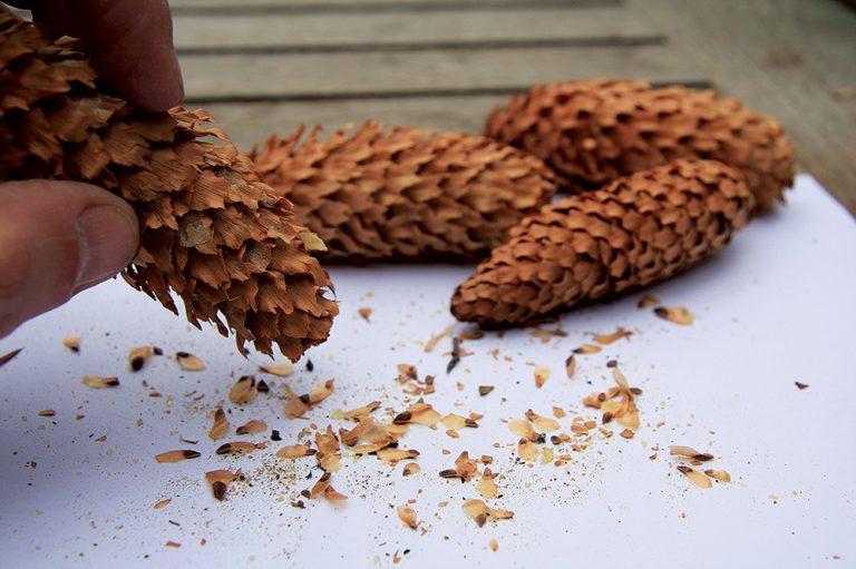 Šišky so semienkami