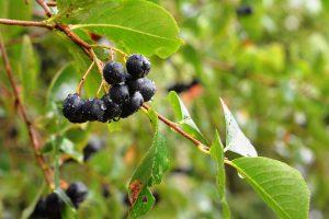 Arónia: Zdravie, ktoré sa zmestí aj do menších záhrad