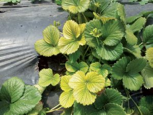 Žlté listy jahôd: Ako bojovať s chlorózou?