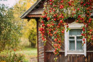 Najväčšia prednosť starých odrôd: Aróma a chuť plodov, ktoré nie sú bežne v predaji