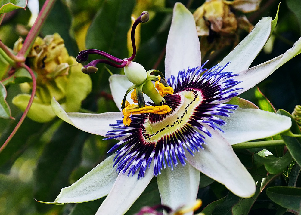 Mučenka: Liečivá rastlina s úchvatnými kvetmi a chutnými plodmi