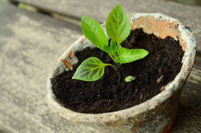 Choroby a škodce pri pestovaní priesad