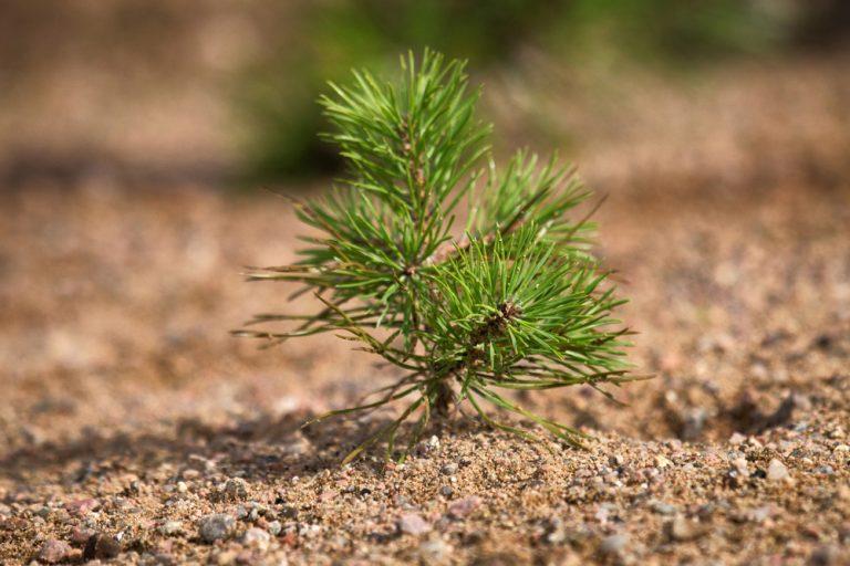 Nové ihličnany zo semien? Takto sa to podarí