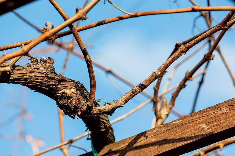 Rez viniča na pergole