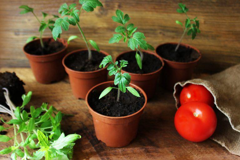 Mladé rastlinky rajčín