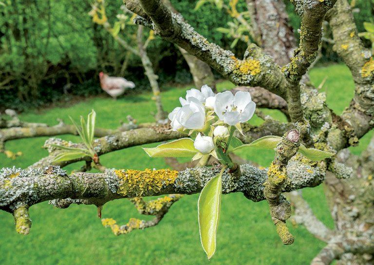 Lišajníky na ovocných stromoch. Treba ich odstrániť?