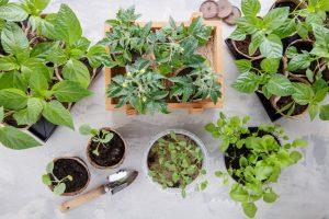 Všetko o zdravých zeleninových priesadách