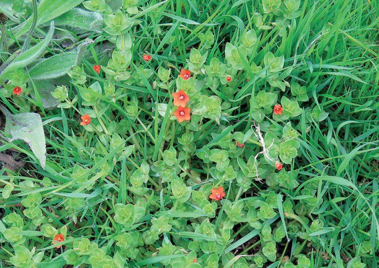 Drobné červené kvietky v záhone. Čo to je?