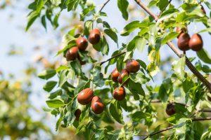 Jujuba: Prírodný antioxidant z Číny, ktorý zlepší celkovú imunitu