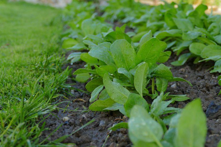 Milovaný i nenávidený špenát je nenáročný a rastie aj vo vyšších polohách