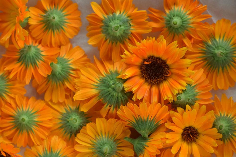 Nechtík lekársky: 5 dôvodov, prečo si ho vysiať do vlastnej záhrady
