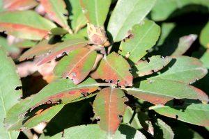 Čo ohrýza môj rododendron?