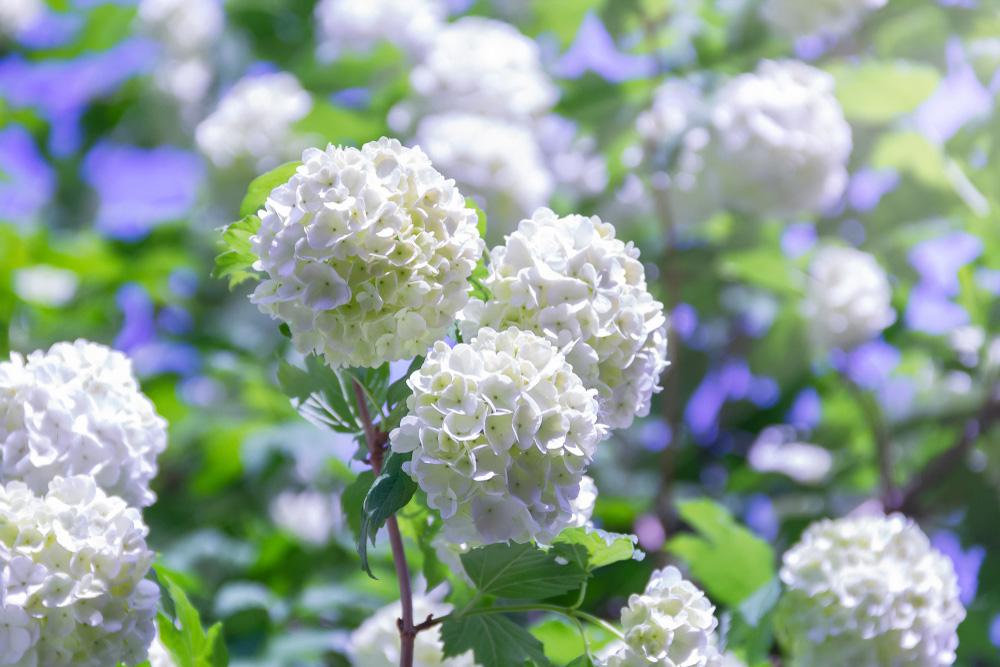 Kalina: Dlhoročná drevina, ktorá ozvláštni každú záhradu