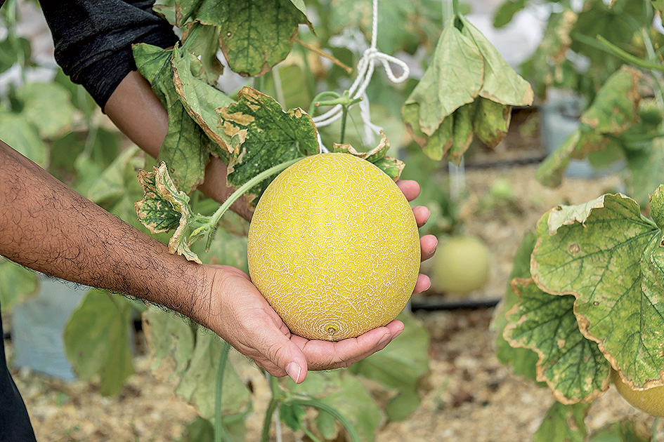 Dajú sa pestovať cukrové melóny aj inde ako na juhu Slovenska?