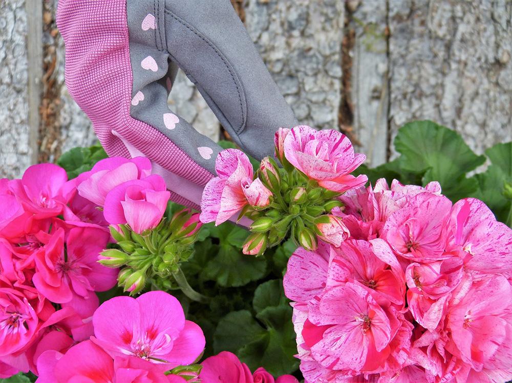 Krása pelargónií alebo dedinské kvety plné noblesy