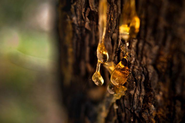 Živica na strome