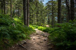 Využite bohatstvo ihličnatých lesov: Vyrobte si liečivý smrekový sirup a živicovú masť
