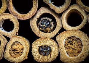 Včely samotárky pomáhajú opeľovať