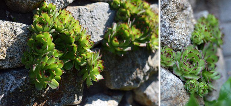 Rozrastené skalné ruže na kameňoch