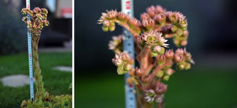 Kvet skalnice vysoký 40 centimentrov