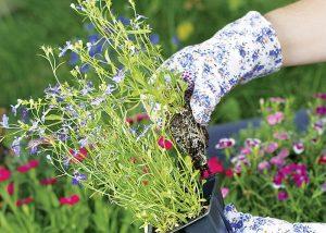 Letičky v nádobe, ruky v záhradníckych rukaviciach