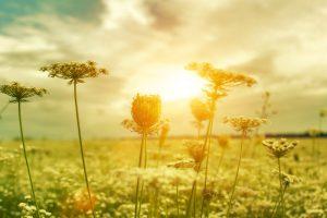 Letné kvety na lúke pri západe slnka