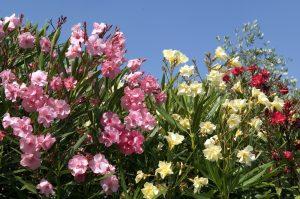 Kvitnúce oleandre, ružová, žltá a červená farba