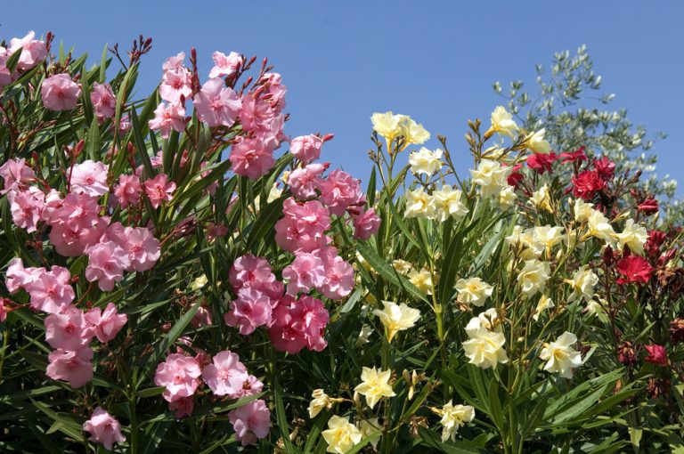 Ako presádzať a kedy rezať oleander? Poradíme vám!