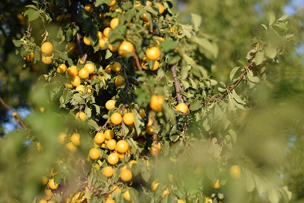 Žlté myrobalány na strome