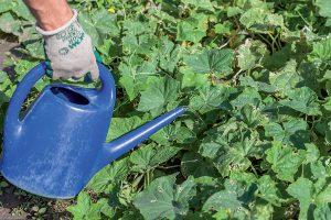 Polievanie zeleniny