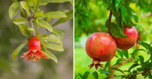 Kvet a plody granátovníka
