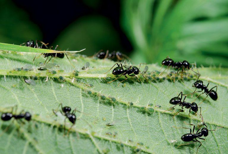Mravce na liste