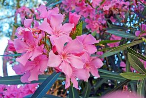 Ružový oleander