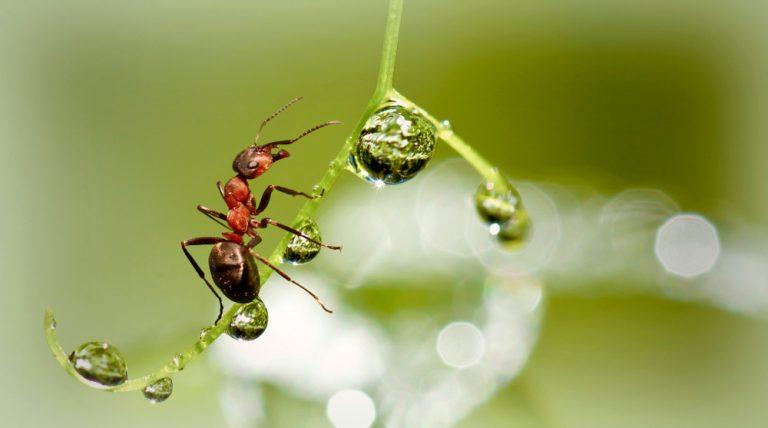 Mravec na rastlinke, kvapky vody