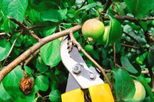 Rez jablone -žlté nožnice strihajú konárik