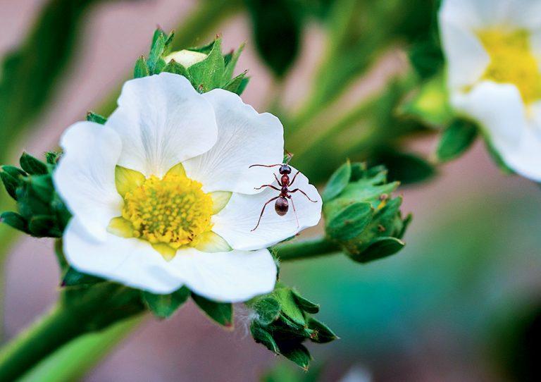Mravec na jahodovom kvete