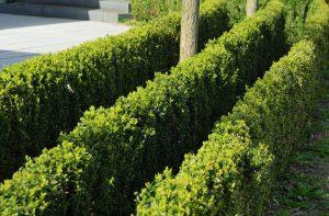 3 rady živého plota