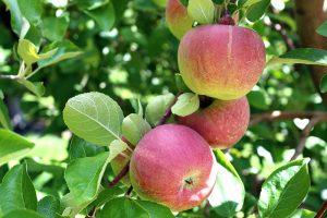 Červené jablká na strome
