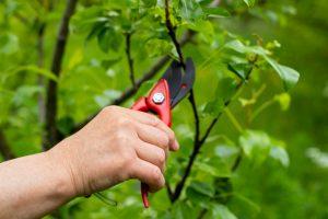 Ruka s nožnicami - rez stromu
