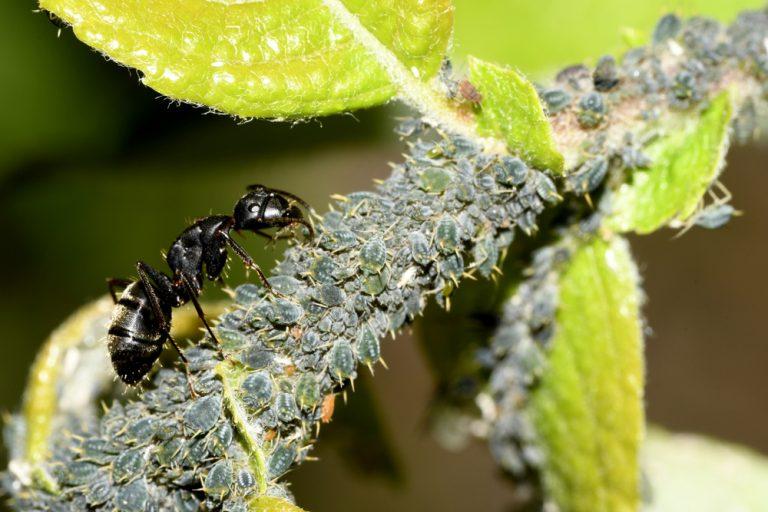 Mravec a vošky
