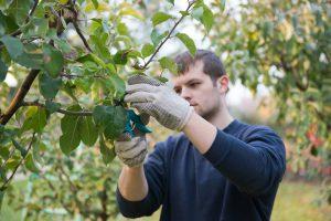 Muž robí letný rez stromov