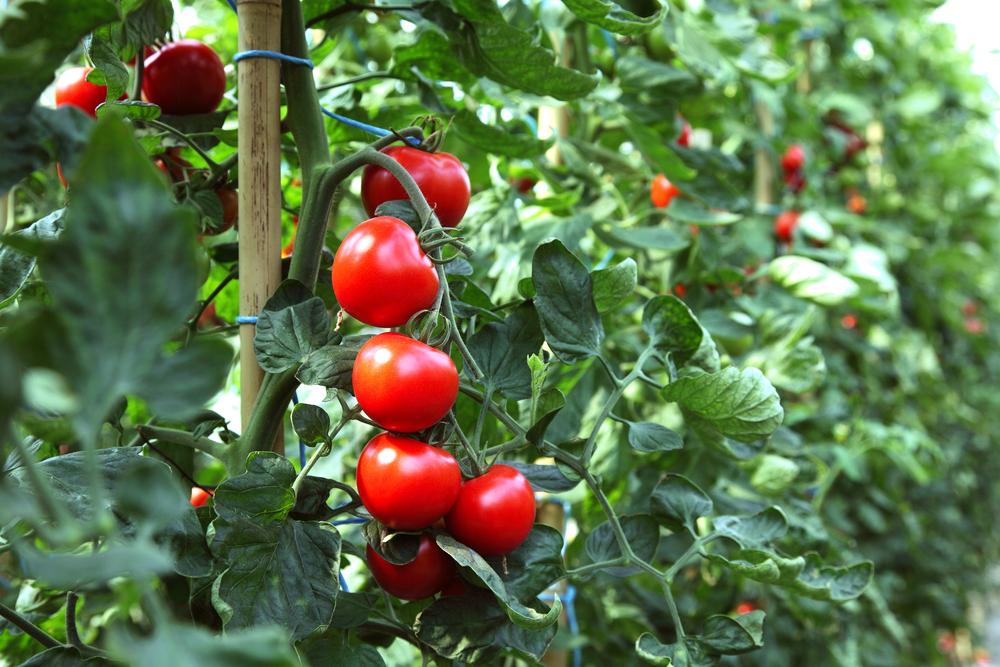 Rajčiny v záhrade